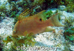 Hogfish at Isla Mujeres.  Taken with a Canon Powershot SD... by Bonnie Conley 